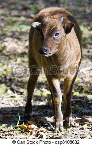 Stock Photo of Lowland anoa calf.