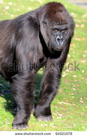 Eastern Gorilla Clipart.
