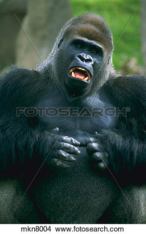 Stock Photo of Male lowland gorilla beating his chest. mkn8004.