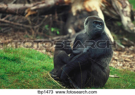 Stock Photo of A western lowland gorilla mother sitting in the.