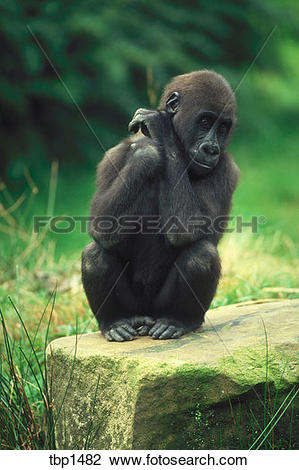 Stock Photo of A young, western lowland gorilla sitting on a rock.