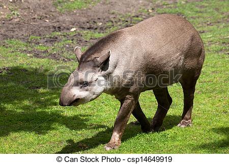 Stock Photography of Tapir.