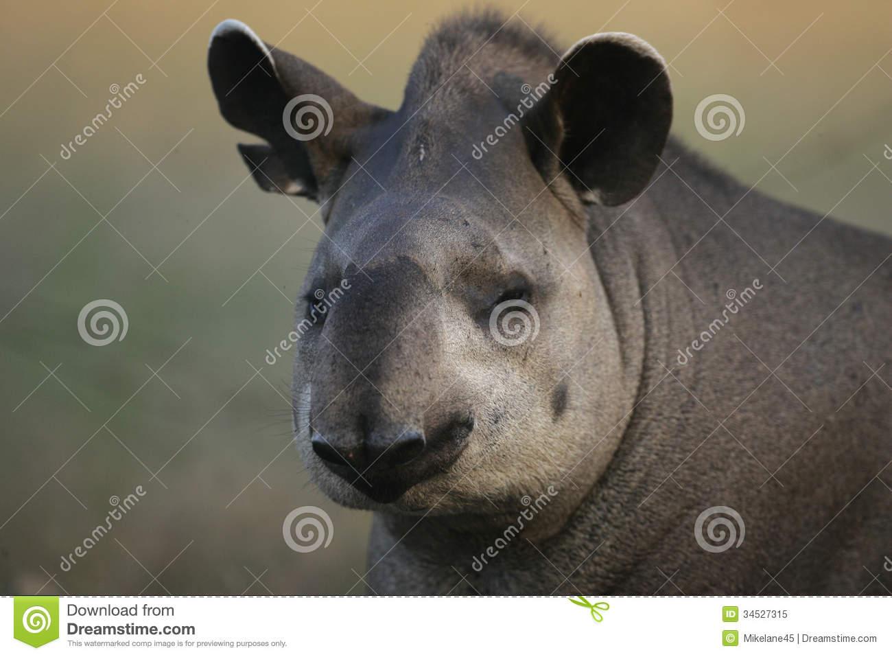 Brazilian Tapir, Tapirus Terrestris, Royalty Free Stock Photo.