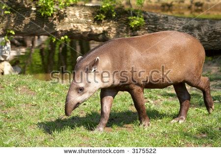 Brazilian Tapir Stock Photos, Royalty.