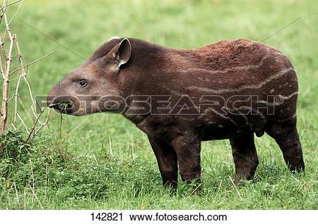 Stock Photography of young Brazilian Tapir.