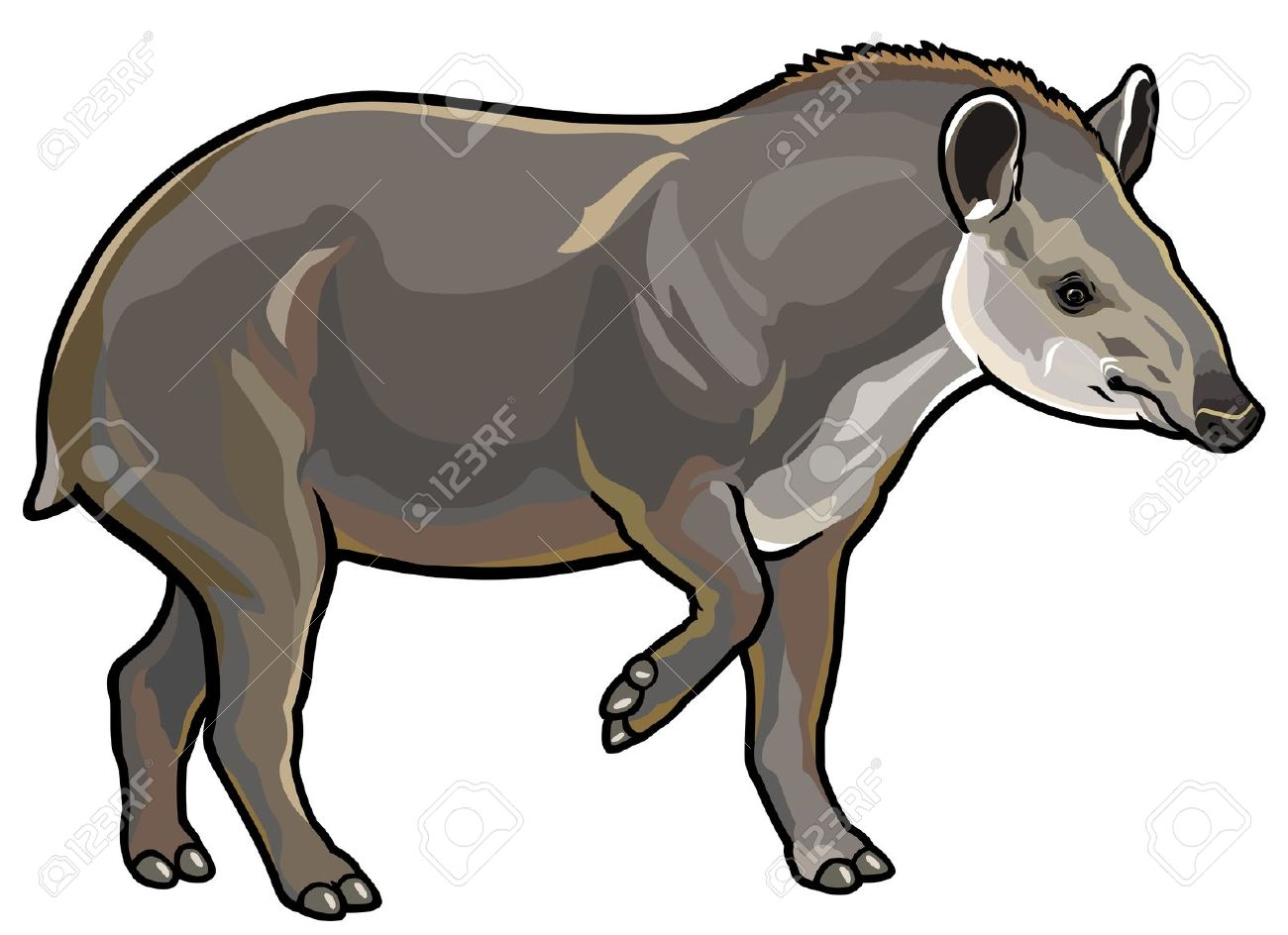 Lowland Tapir,tapirus Terrestris,side View Picture Isolated On.