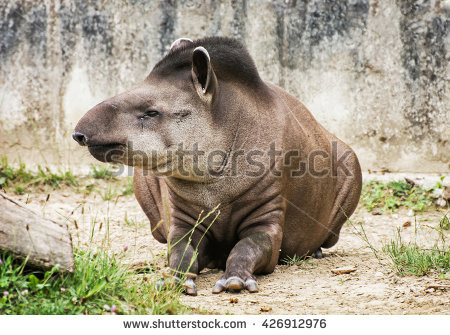 South American Tapir.