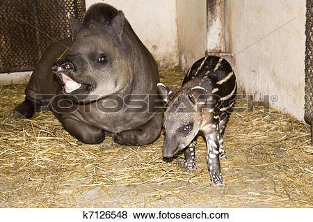 Pictures of Baby lowland tapir k7126548.