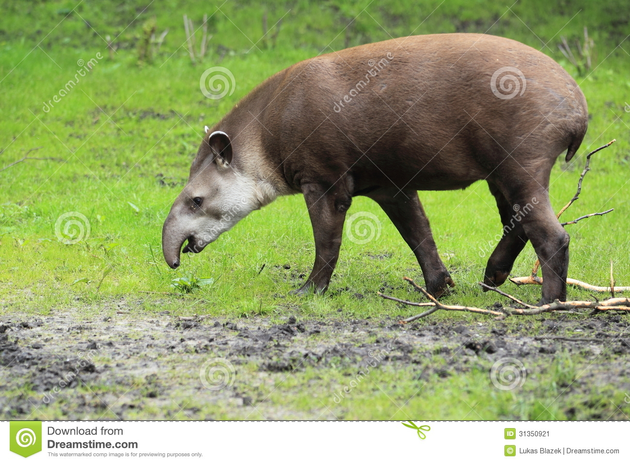 Lowland Tapir Stock Photos, Images, & Pictures.