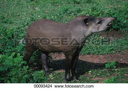 Stock Photo of Brazilian, Brazilian tapir, Brazilian tapirs.
