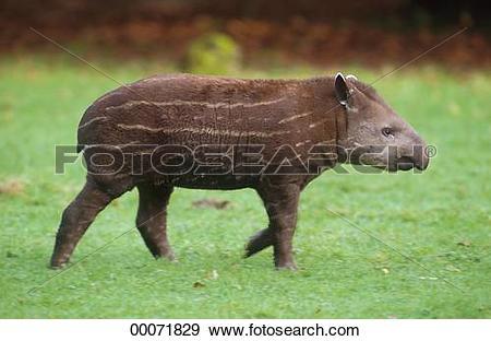 Stock Photograph of Brazilian, Brazilian tapir, Brazilian tapirs.