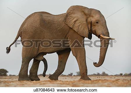Stock Photo of Elephant male, Loxodonta africana, with erect penis.