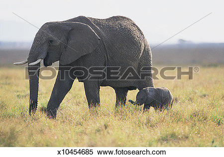Stock Image of African Elephant and Calf (Loxodonta africana.