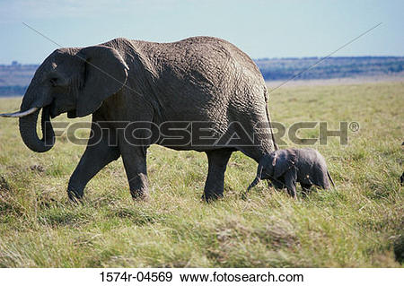 Stock Photograph of African Elephant with its young (Loxodonta.