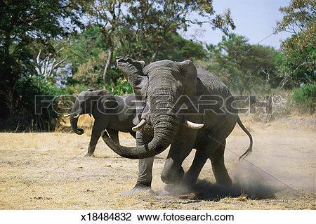 Stock Photo of Elephants (Loxodonta africana), one running.