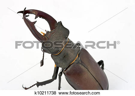Stock Illustration of Stag beetle (Lucanus cervus) k10211738.