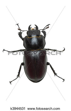 Stock Photography of Crawling female stag beetle (Lucanus cervus.