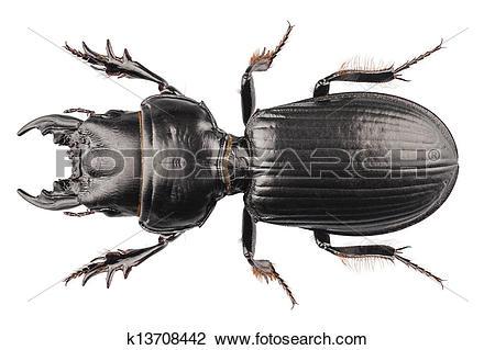 Stock Photo of beetle species Lucanus cervus k13708442.