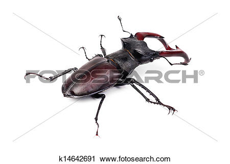 Stock Photography of Brown stag beetle Lucanus cervus, the largest.