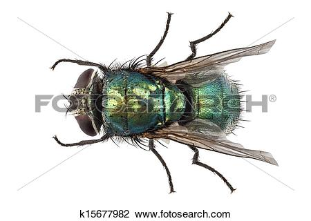 Stock Photo of blow fly species Lucilia caesar k15677982.