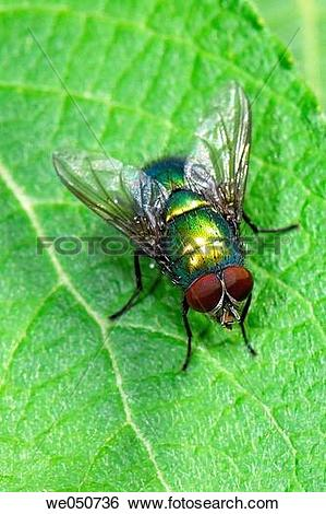Stock Images of Bluebottle Fly. Lucilia caesar. we050736.