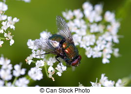 Stock Photos of Common green bottle fly (Lucilia sericata) on a.