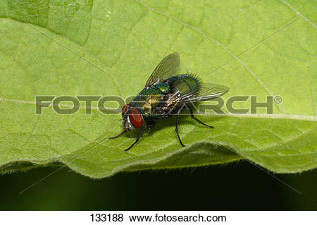 Pictures of Greenbottle fly on leaf / Lucilia caesar 133188.