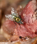 Stock Images of Common greenbottle (Lucilia caesar) fly, also.