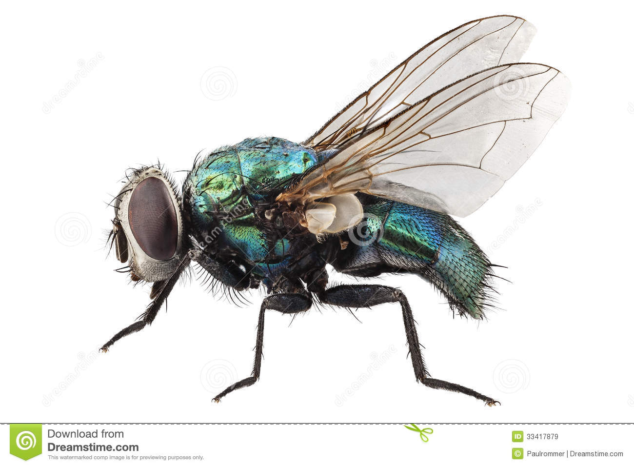 Blow Fly Species Lucilia Caesar Royalty Free Stock Images.