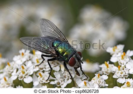 Pictures of Greenbottle fly, Lucilia sericata.