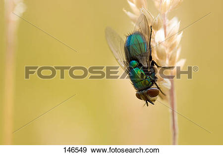 Stock Photograph of green bottle fly.