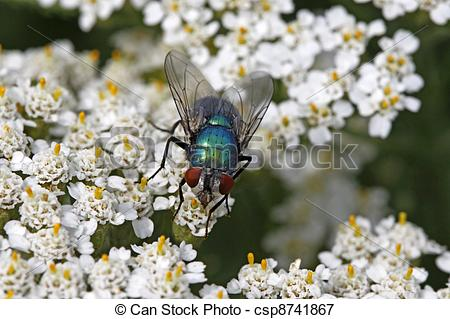 Picture of Greenbottle fly, Lucilia sericata.