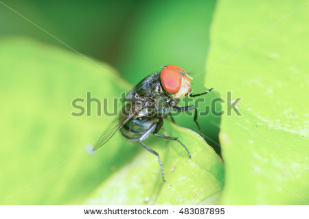 """common_green_bottle_fly"""" Stock Photos, Royalty."""