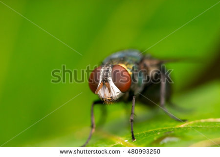 Common Green Bottle Fly Stock Photos, Royalty.