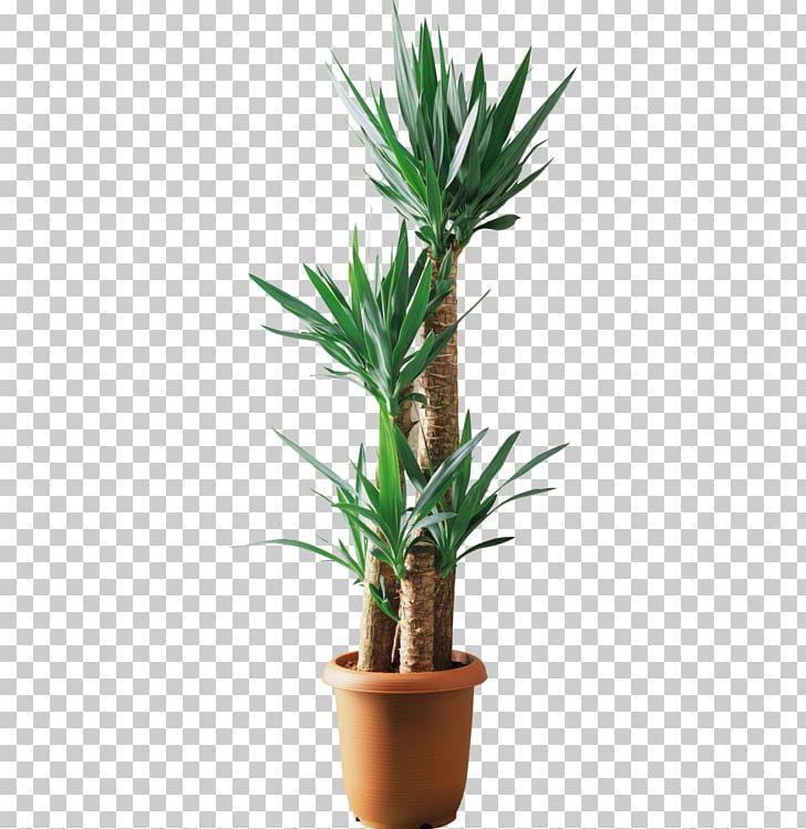Yucca Filamentosa Lucky Bamboo Plant Tree Dracaena Fragrans.