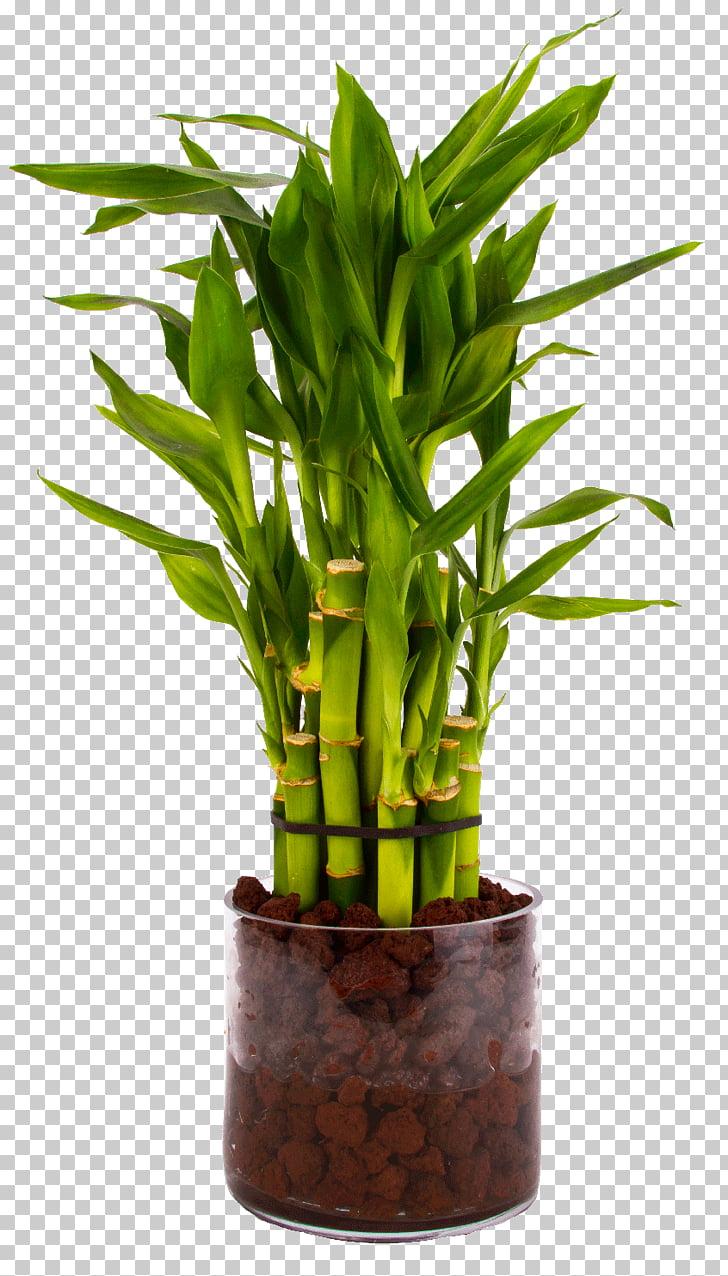 Tropical woody bamboos Lucky bamboo Houseplant Flowerpot.