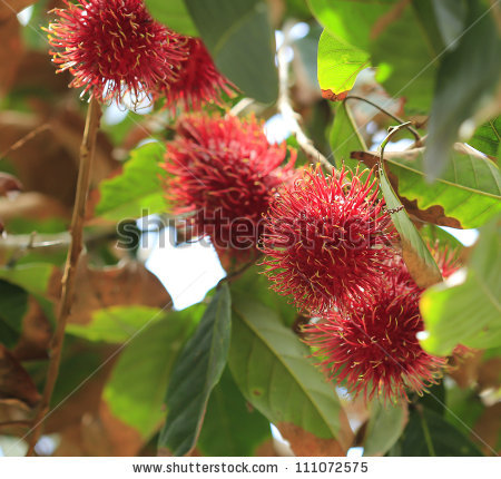 Fruit rambutan free stock photos download (2,215 Free stock photos.
