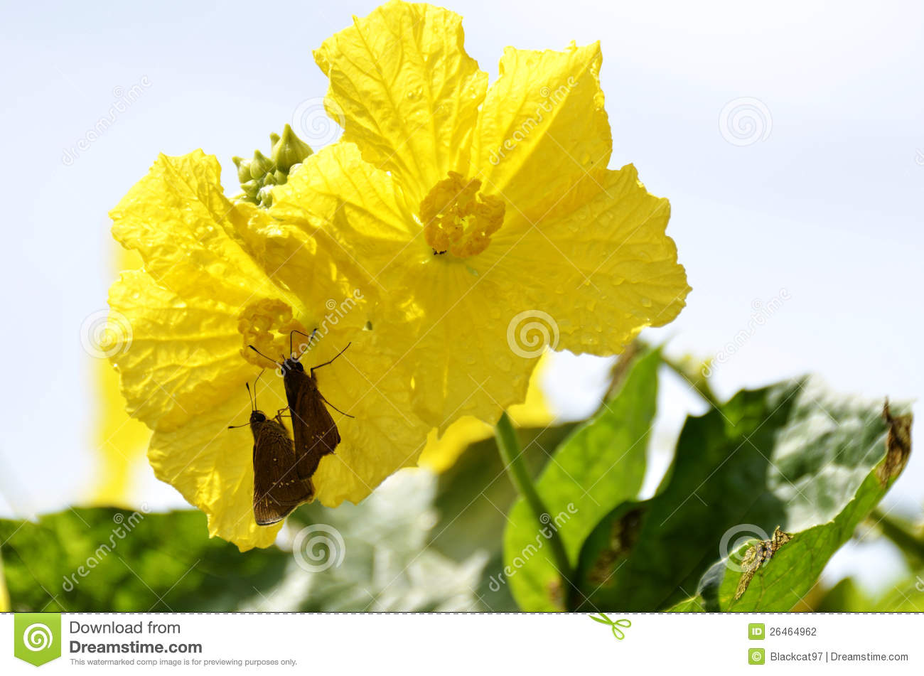 Luffa Flower And Butterfly Stock Photography.