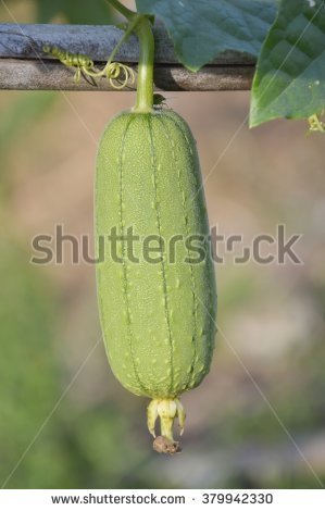 """luffa Sponge Gourd"" Stock Photos, Royalty."