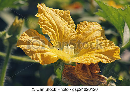 Stock Photo of Flower of Luffa aegyptiaca, aka Egyptian cucumber.