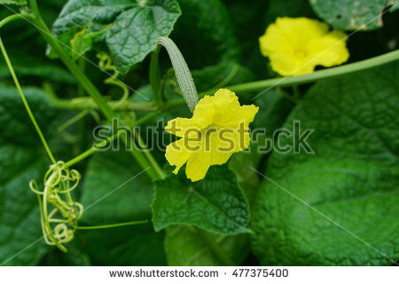 Smooth Luffa Stock Images, Royalty.
