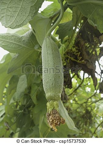 Stock Photos of Fruit of a Sponge Gourd, Luffa cylindrica on plant.