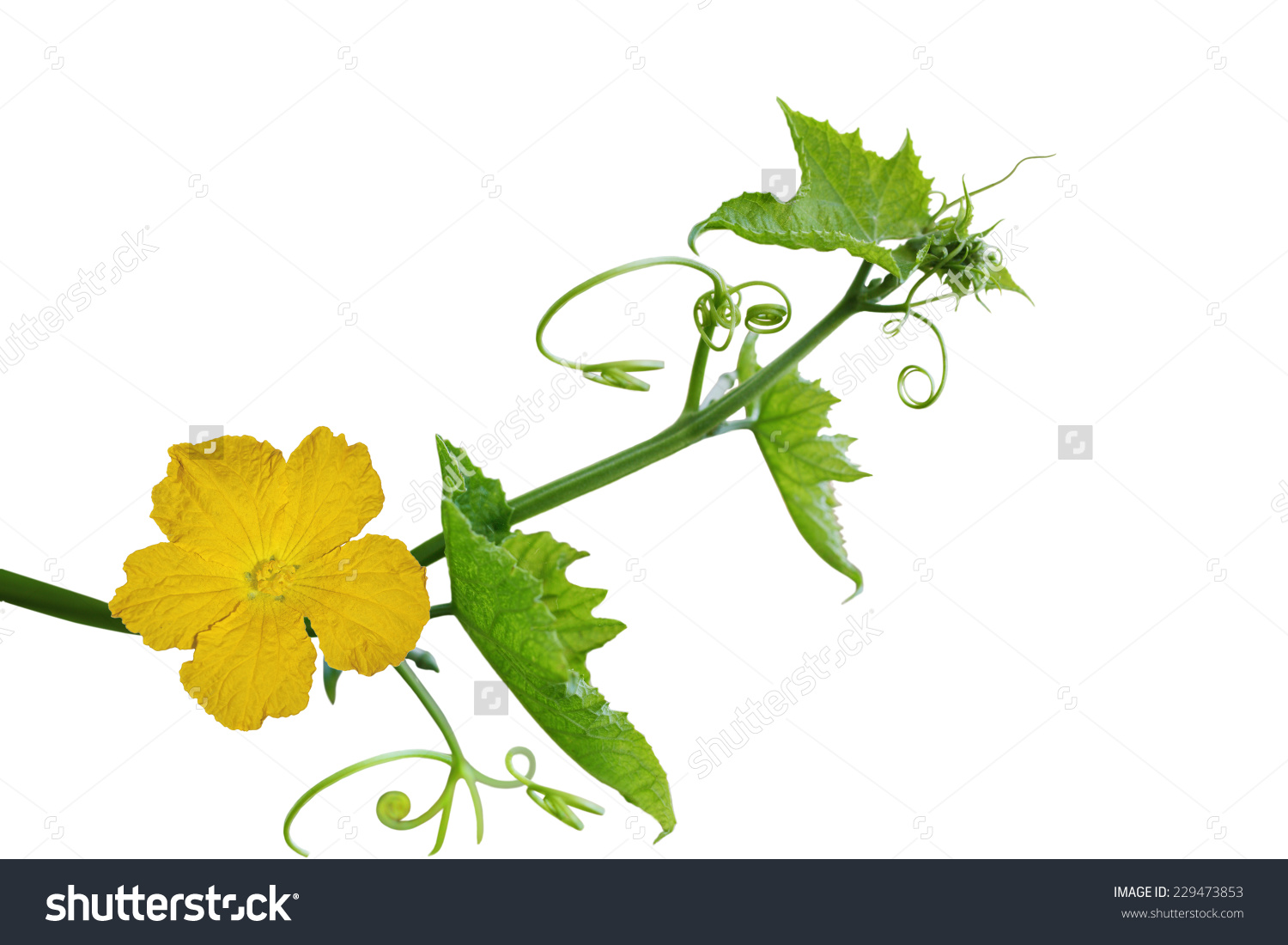 Loofah Luffa Flower Leaf Isolated On Stock Photo 229473853.