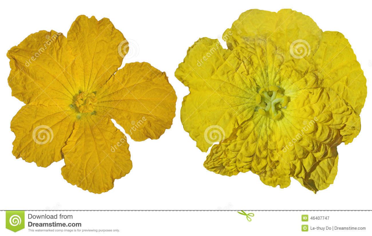 Luffa Flowers Stock Photo.