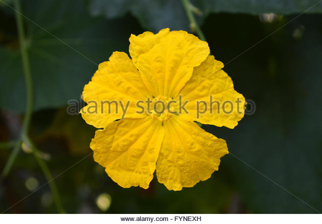 Luffa Stock Photos & Luffa Stock Images.