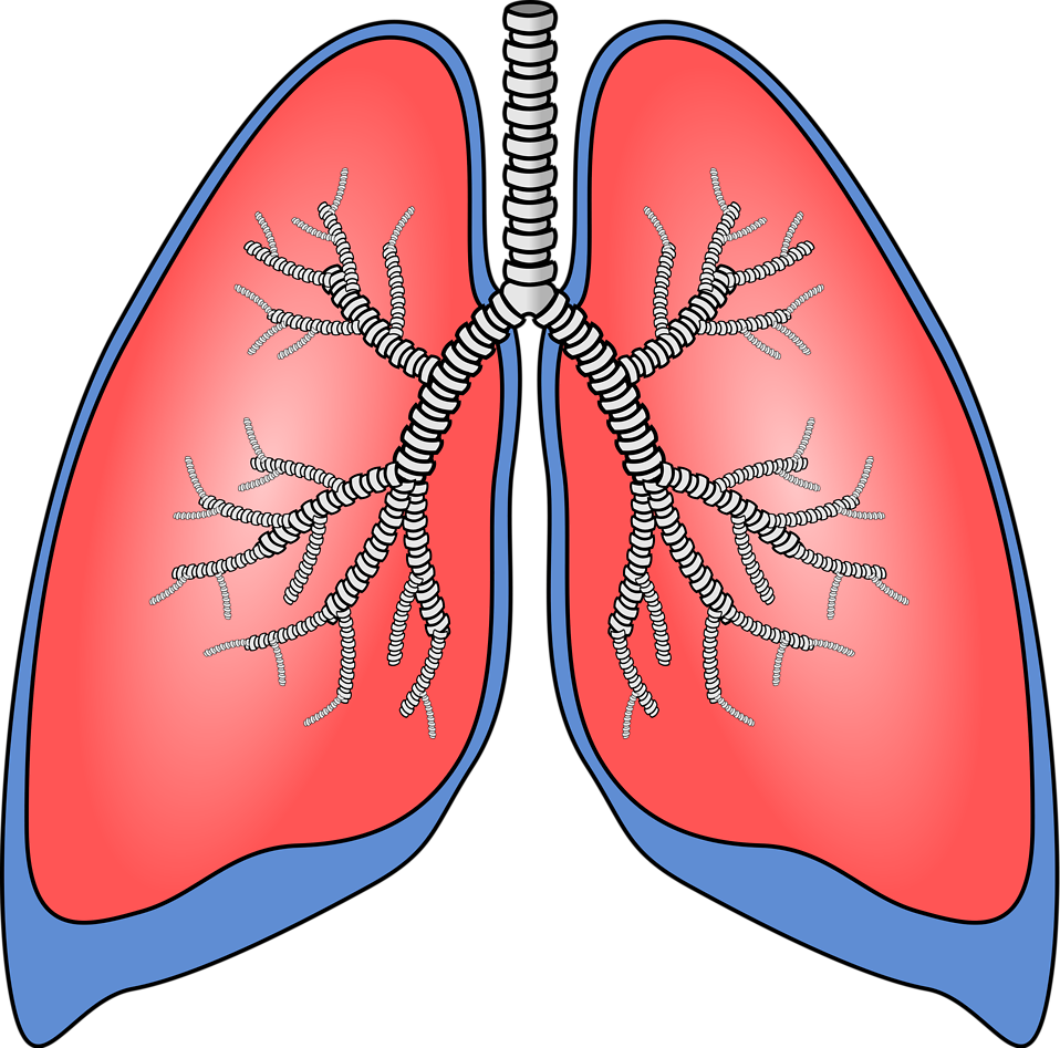 Clipart Lungs.