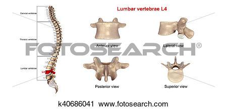 Clipart of Lumbar vertebrae L4 k40686041.