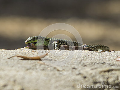 Lumbricidae Stock Photos, Images, & Pictures.