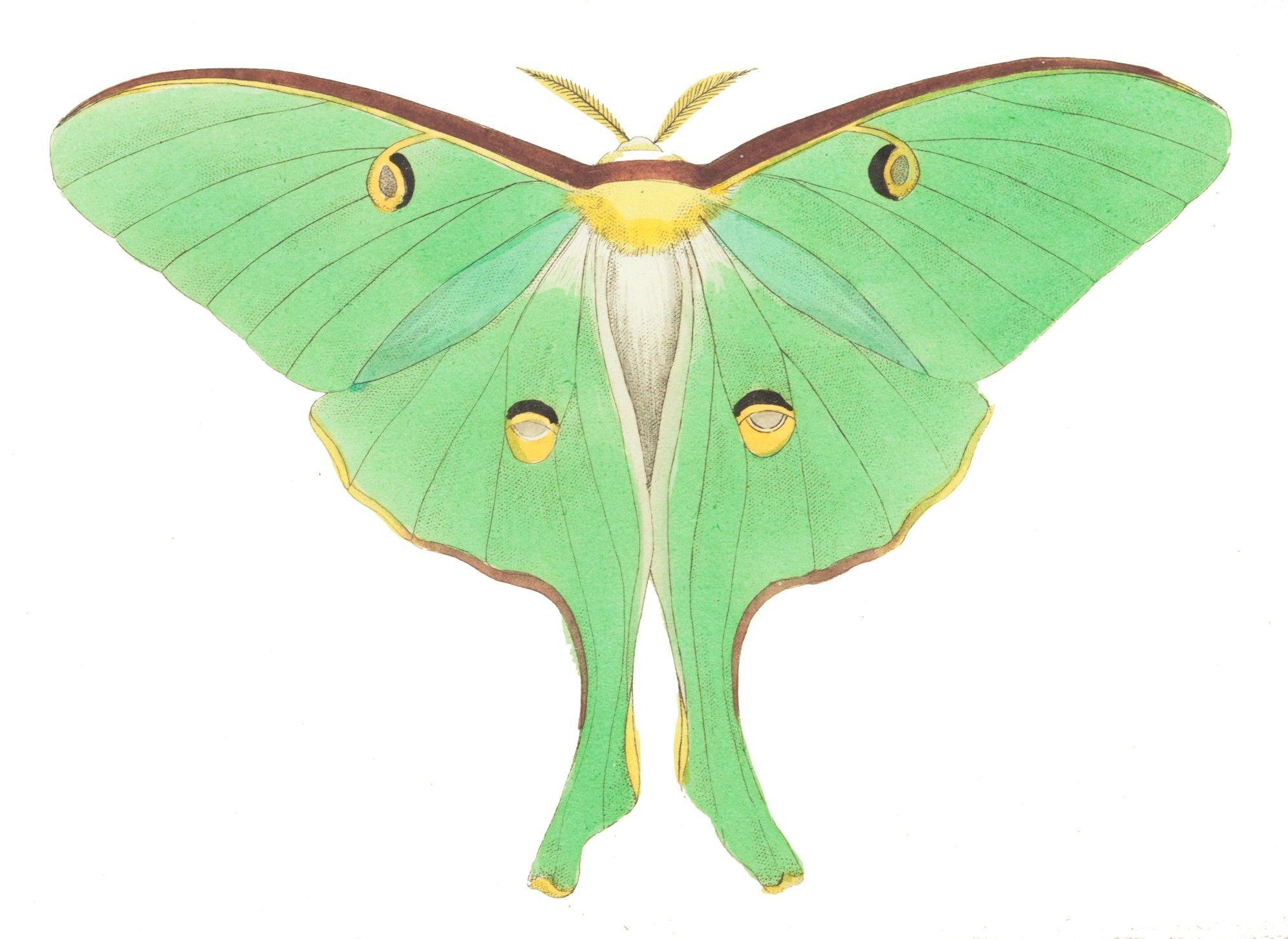 Luna Moth Public Domain Clipart.