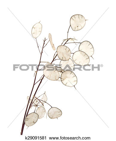Stock Photography of Lunaria annua, silver dollar plant k29091581.